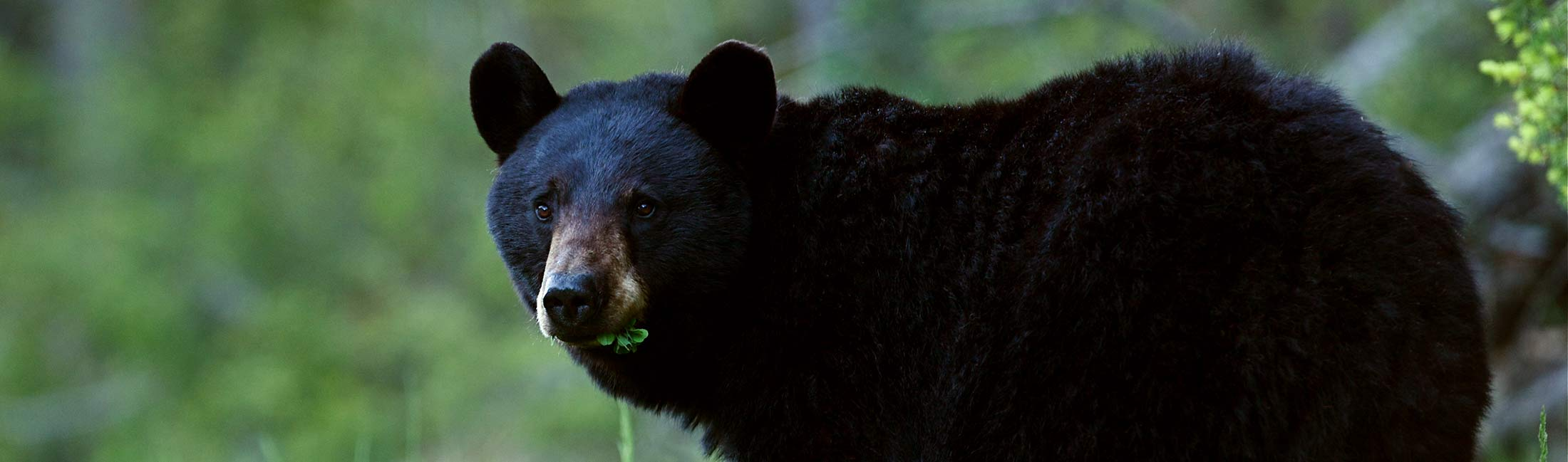 Black Bear in Missoula, Montana