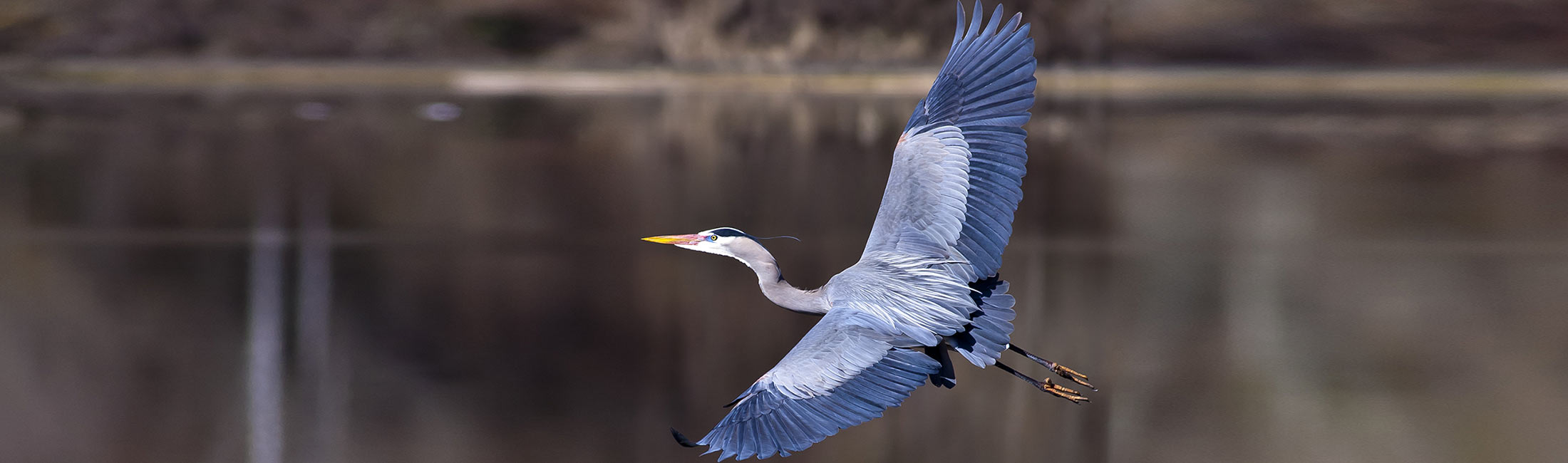 Blue Heron in Missoula, Montana