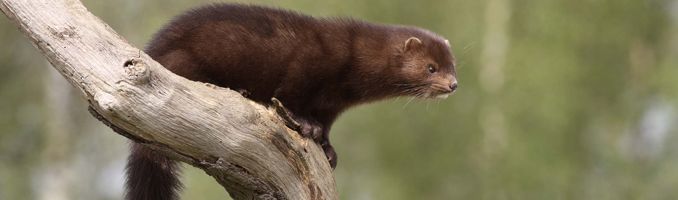 Mink in Missoula, Montana