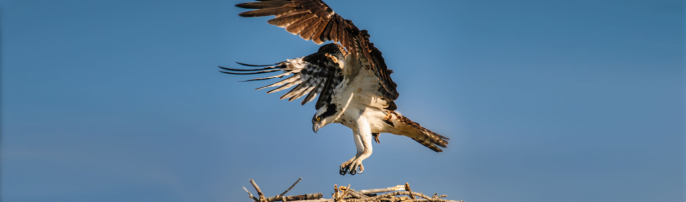Osprey in Missoula, Montana