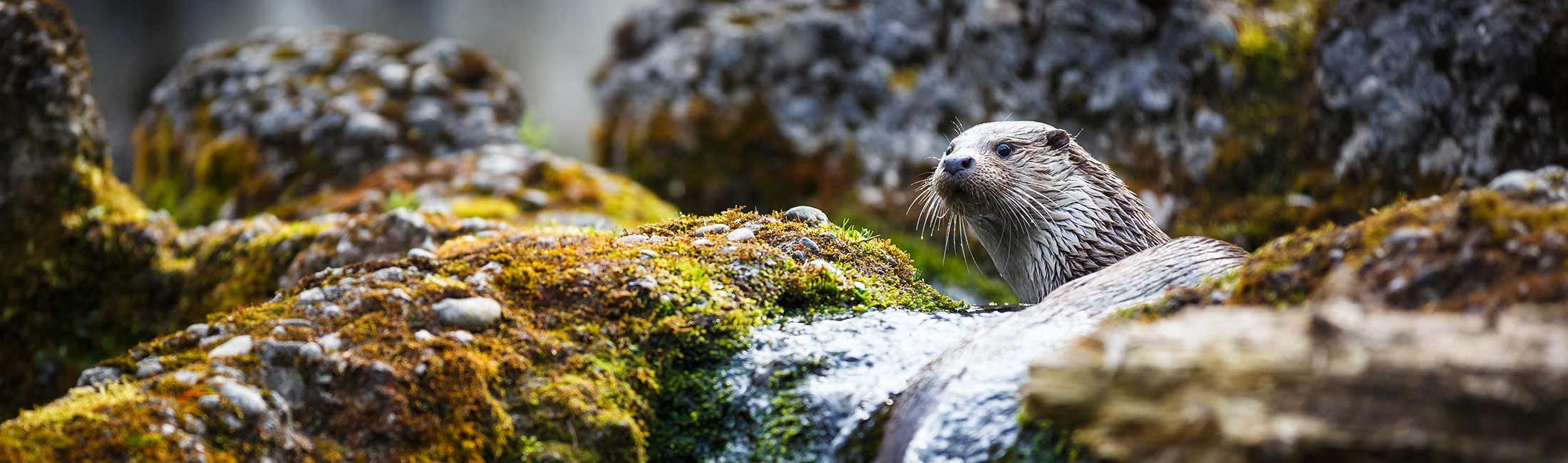 Otter in Missoula, Montana