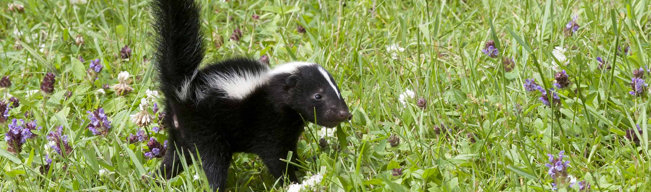 Skunk in Missoula, Montana